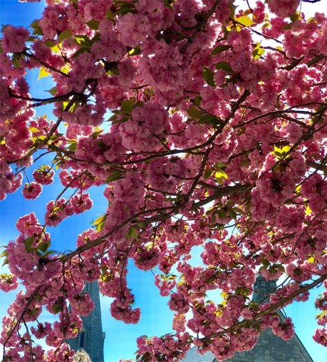 May Cherry Blossom Flowers